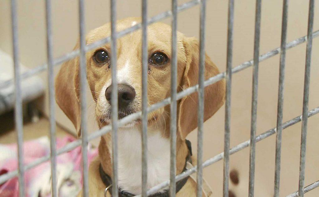 Perro mirando a traves de la jaula esperando que lo adopten