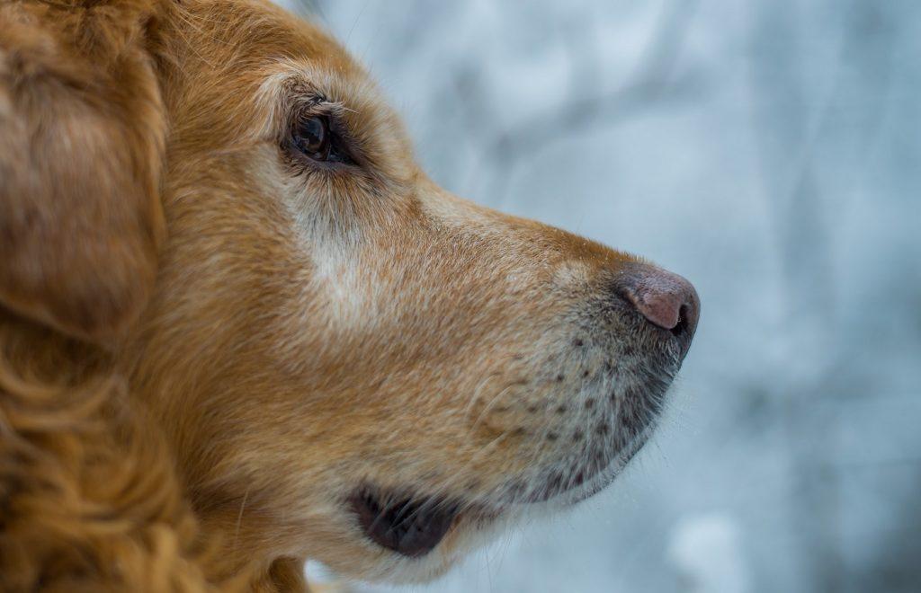 Foto de un perro de perfile donde se puede ver el problema de la nariz de nieve
