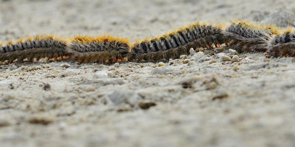 Foto de la oruga procesionaria moviendose por el suelo en busca de un lugar nuevo