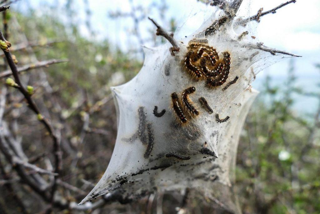 Foto de la bolsa en la que se encuentran las orugas de la procesionaria en los pinos