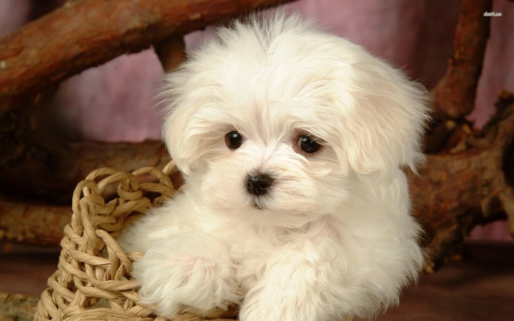 Aquí puedes ver las principales características del Bichón Maltés como puede ser su pelo fino y blanco y el tamaño pequeño de estos perros