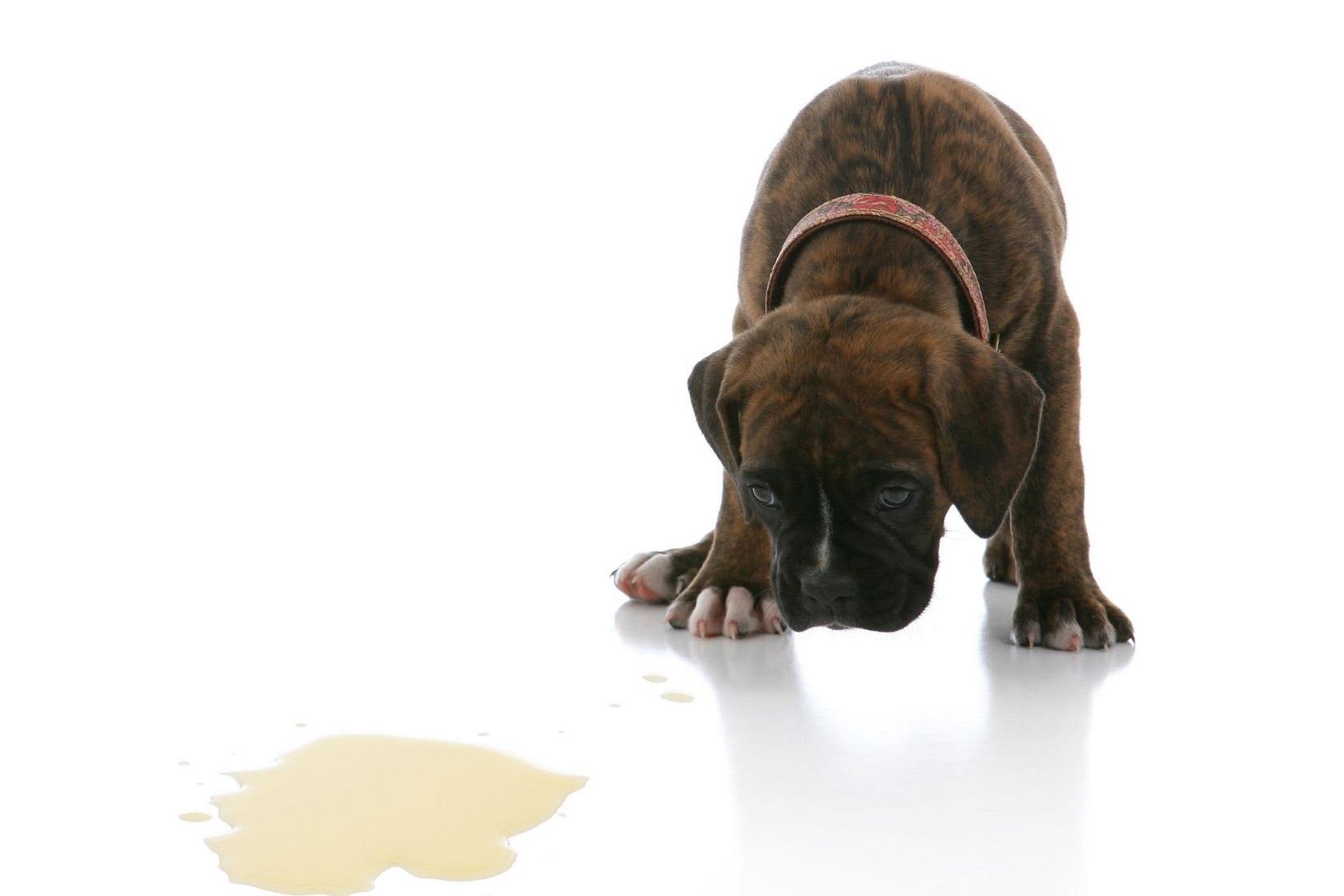 Perro sin control sobre el momento de orinar