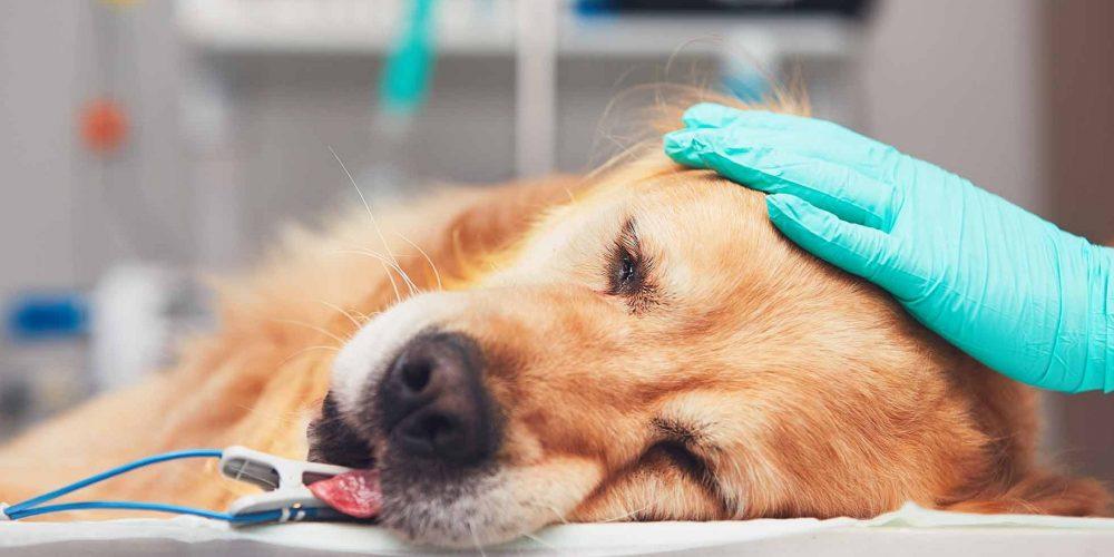 Perro en la camilla del veterinario atendido y sedado