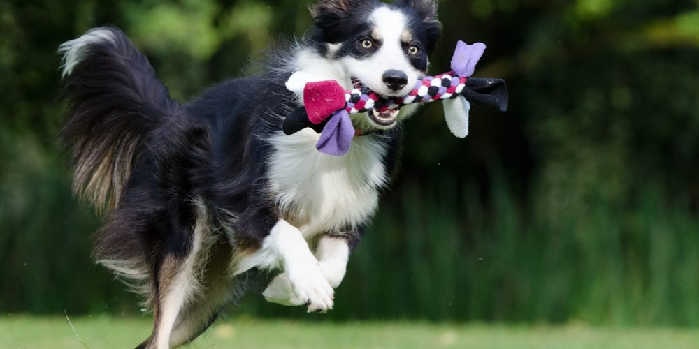 Border-Collie saltando