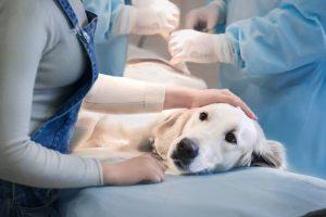Perra en una camilla del veterinario en plena operación para ser esterilizada