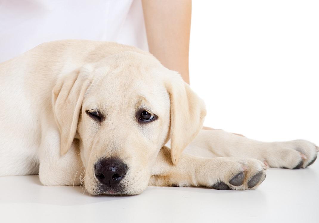 Perro cansado y recostado con poca energía, un de los síntomas que puede indicarte que tu perro sufre de diabetes