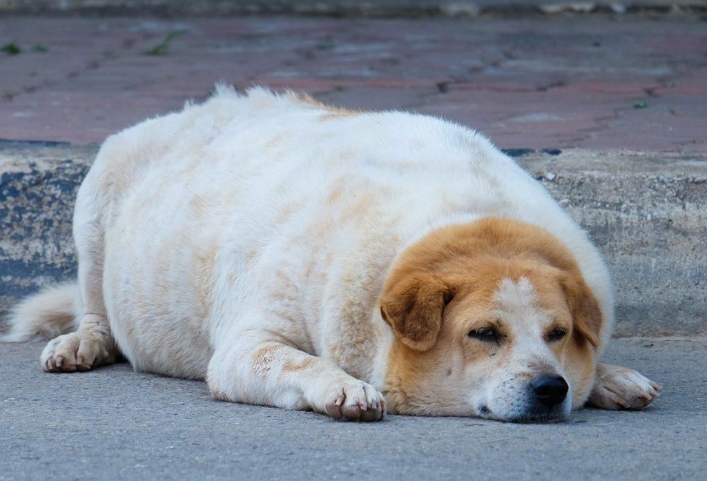 Perro con sobrepeso tumbado sobre el asfalto.
