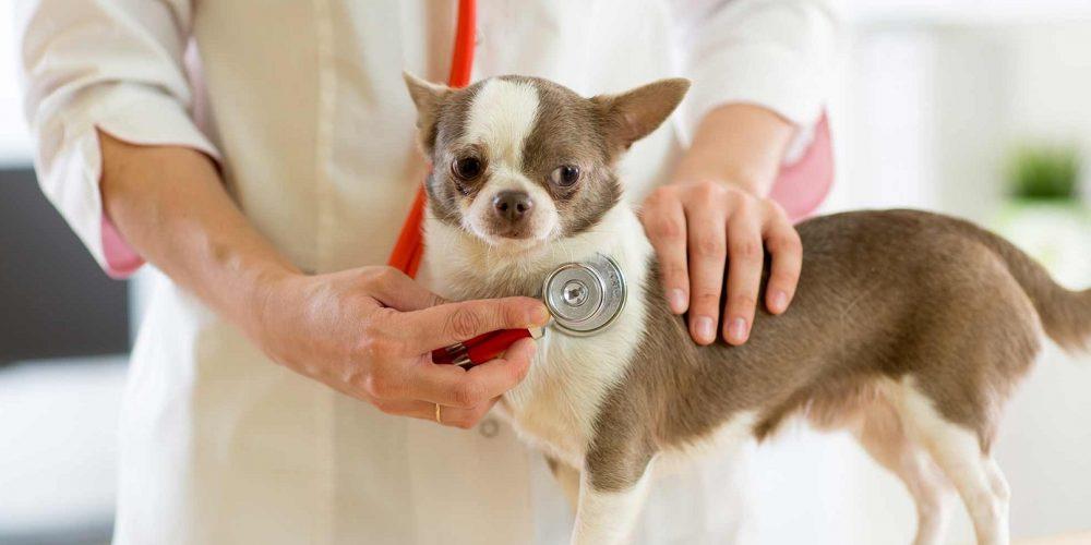veterinario comprobando el latido de un perro en su consulta