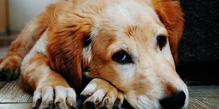 Perro en el suelo sin mucho apetito por problemas hepáticos