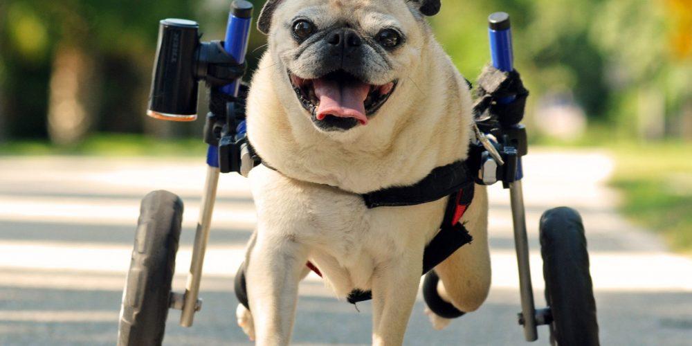 Sillas de ruedas para perros, la superguía