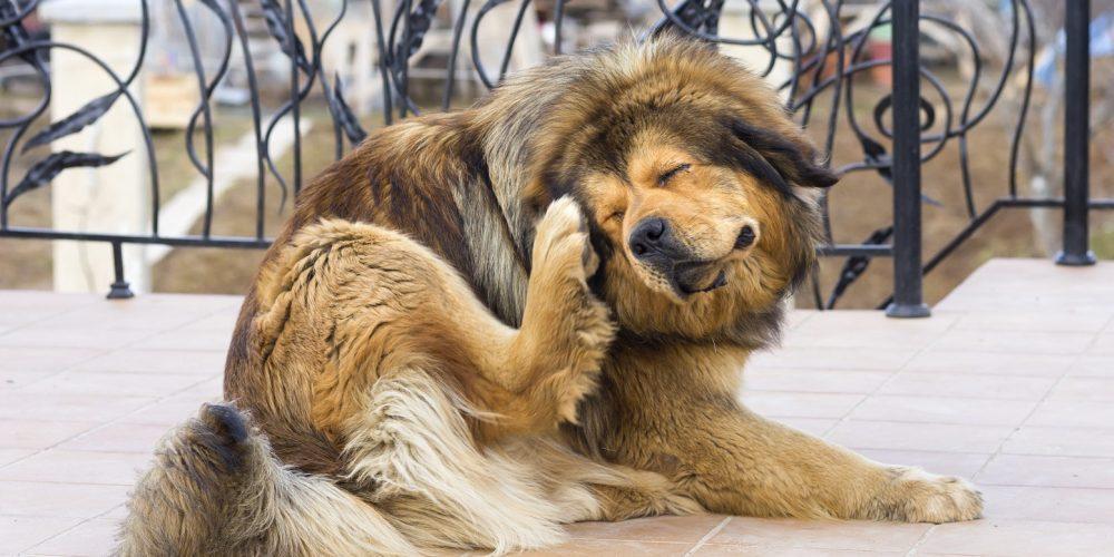 perro rascandose por una reacción alérgica a la comida