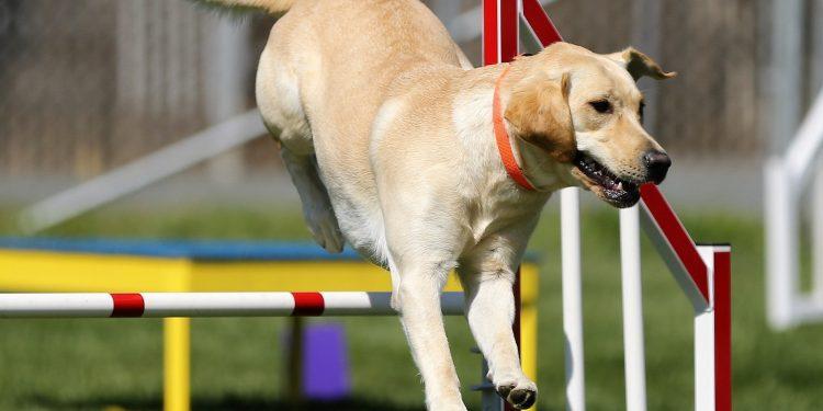 Perro saltando unos obstaculos en un circuito de entrenamiento canino