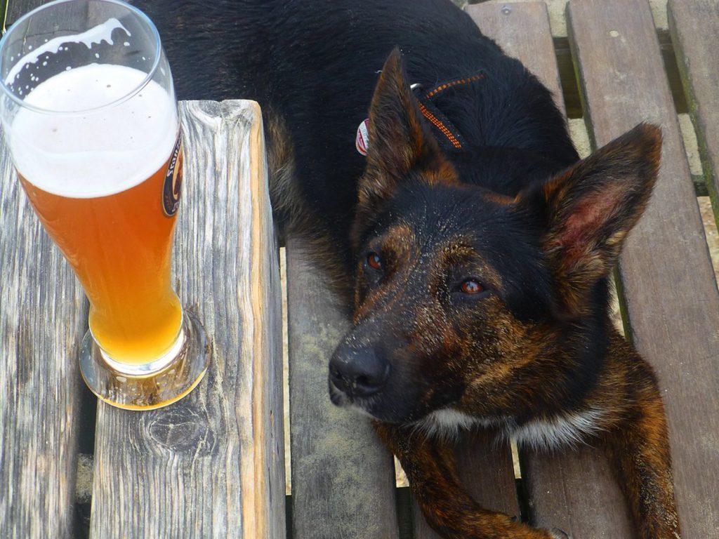 Perro-mirando-cerveza