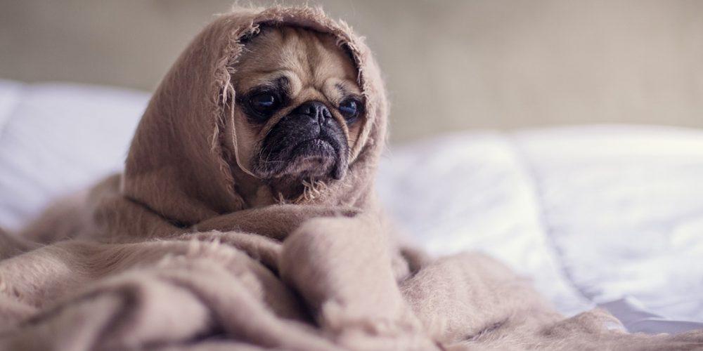 Foto de un perro enfermo enrollado en la manta padeciendo cáncer