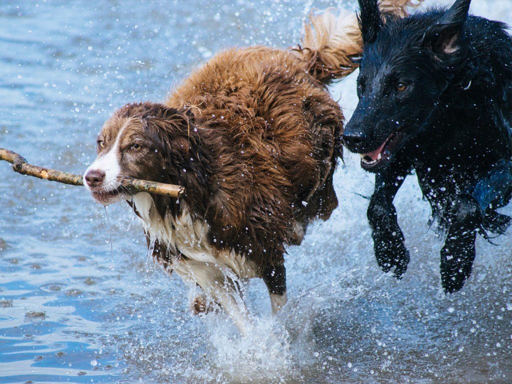 dos perros corriendo