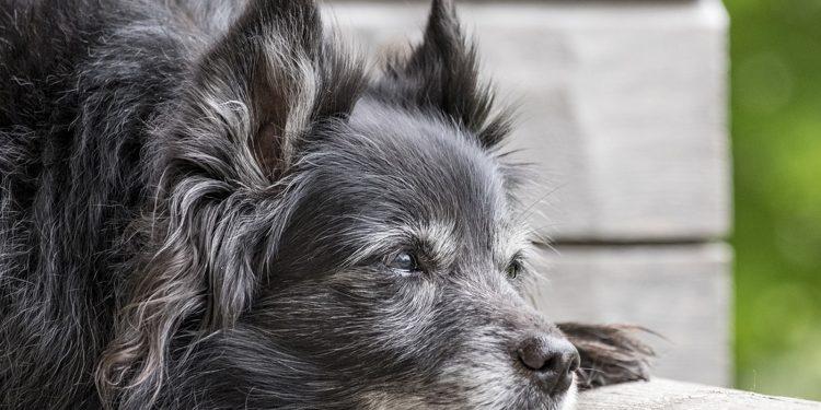 Perros hepatica dieta casera para insuficiencia