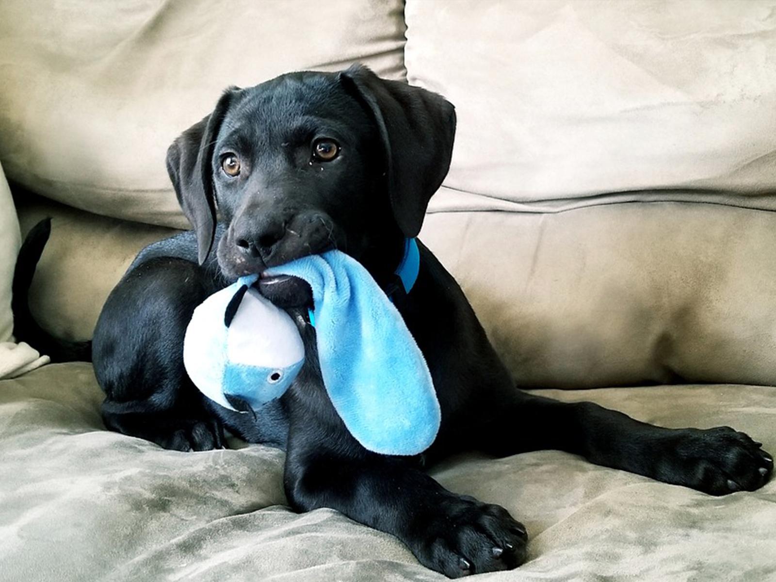Los Mejores Juguetes Para Calmar A Los Perros Adolescentes Cuando Están Solos En Casa
