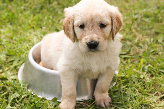 Cómo Alimentar A Un Cachorro Entre Uno Y Tres Meses De Edad