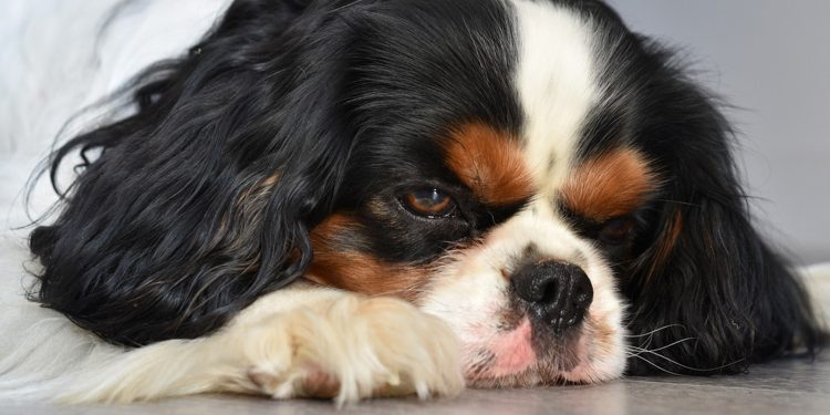 Las Mejores Piensos Y Croquetas Para Perros Con Celiaquía
