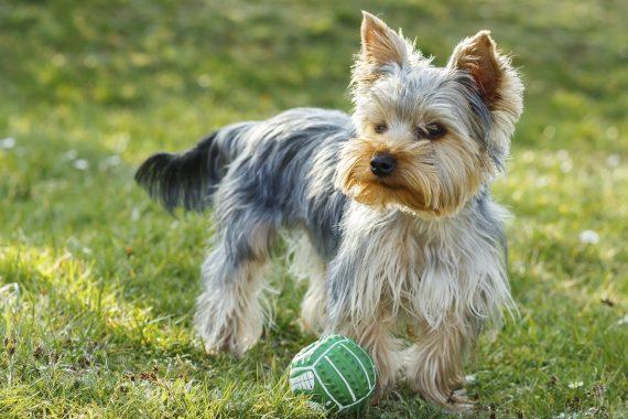 Top de los jueguetes más apropiados y que más le pueden gustar a tu Yorkshire Terrier
