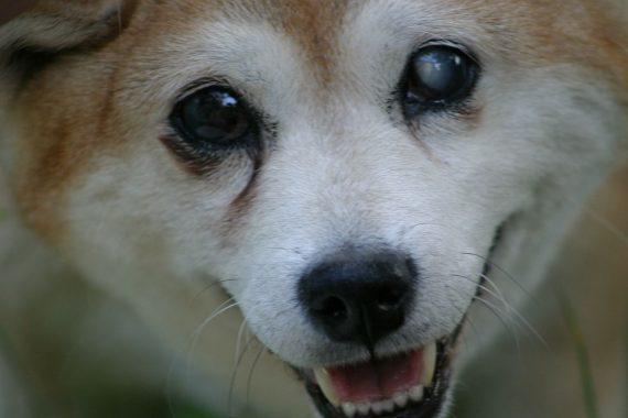 Juguetes más apropiados para perros ciegos y con problemas de visión