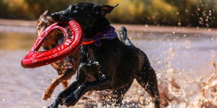 Perro corriendo como loco por el agua mientras lleva su juguete en la boca