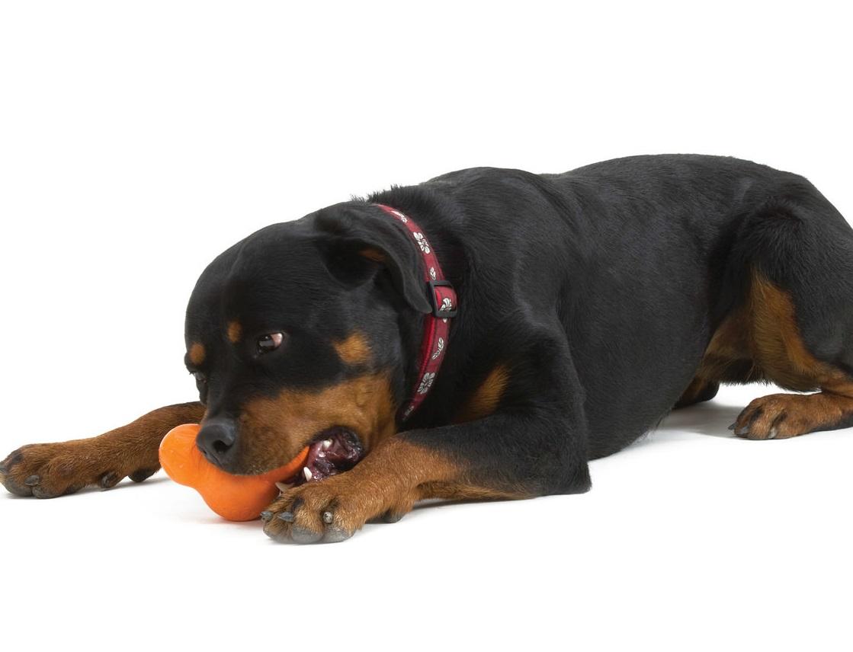 Rotwailer mordiendo su juguete