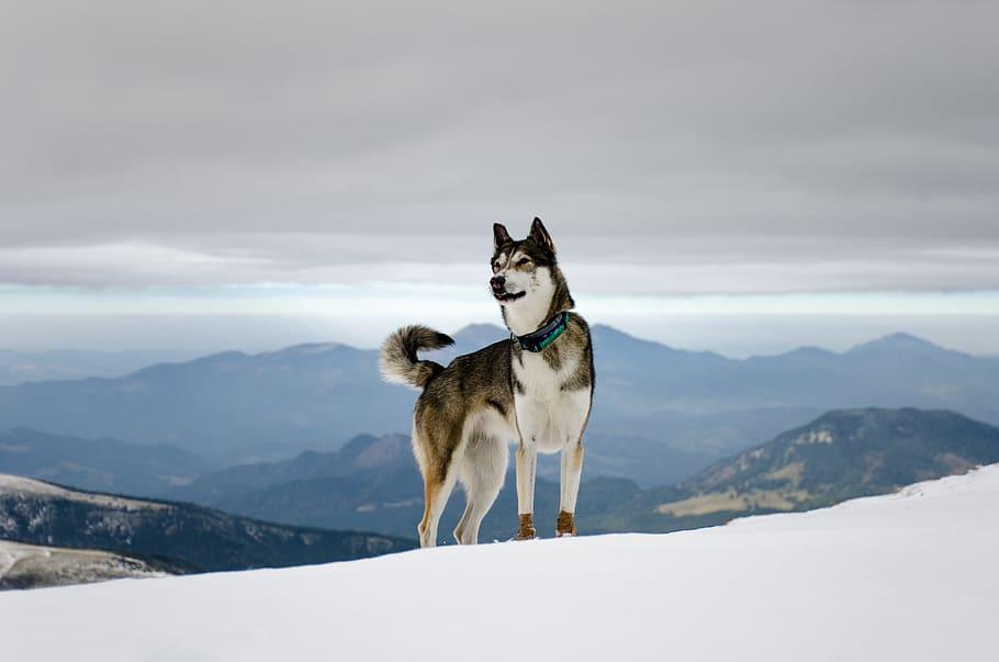 Perros De Nieve O Nórdicos, Resistentes Al Frío