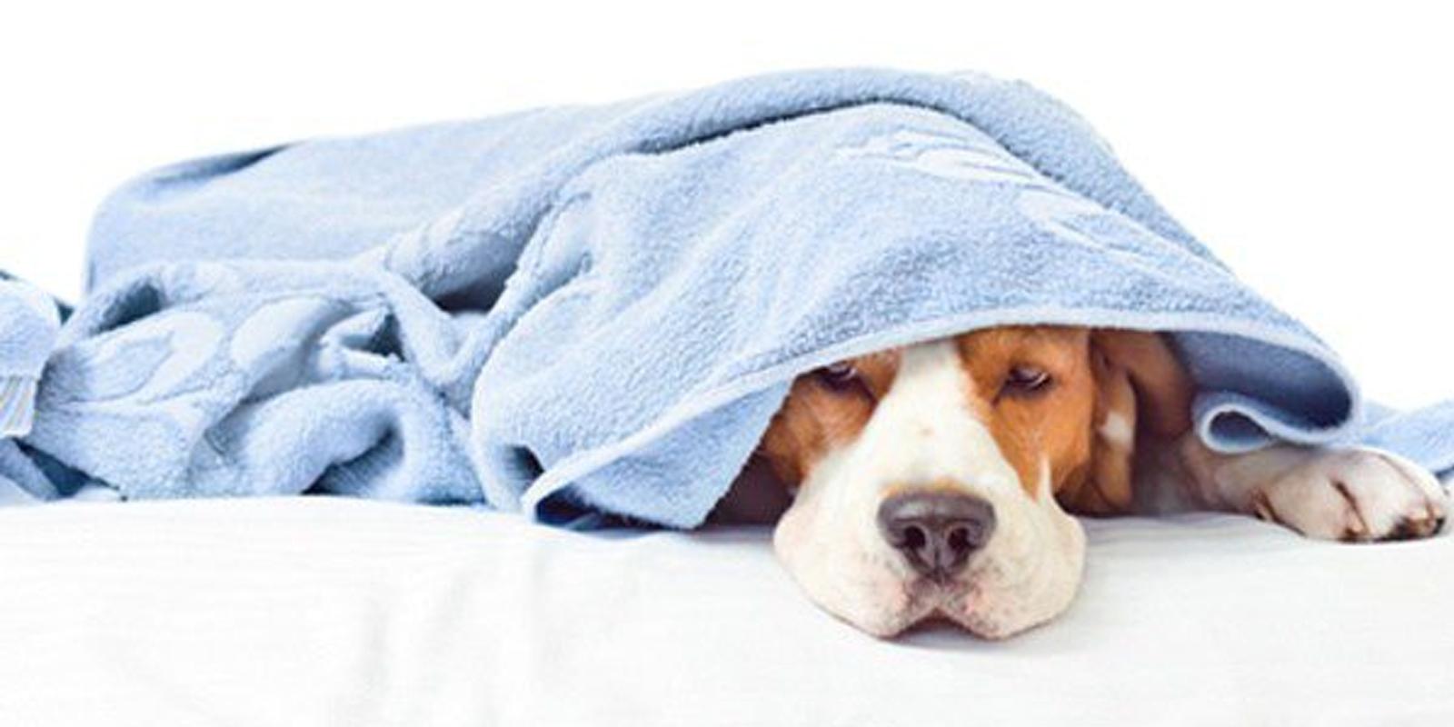 La Gripe En Los Perros: Síntomas Y Qué Les Puedes Dar