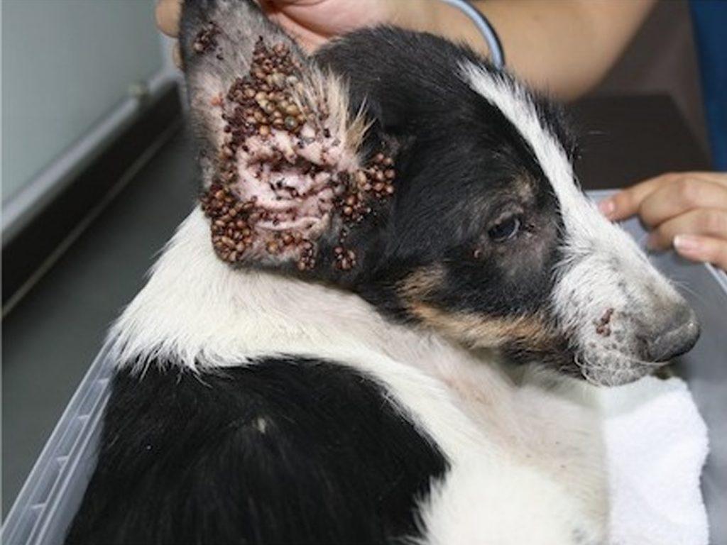 garrapata en un perro sintomas