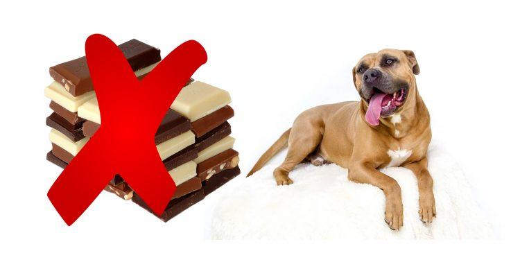 Qué Hacer Si Tu Perro Come Chocolate