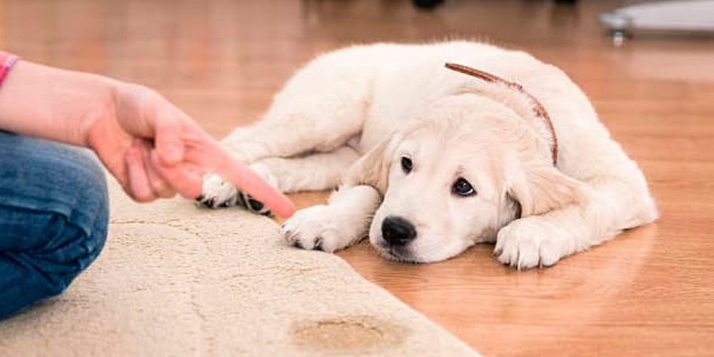 Cómo Hacer Que Mi Perro No Orine Por Todos Lados
