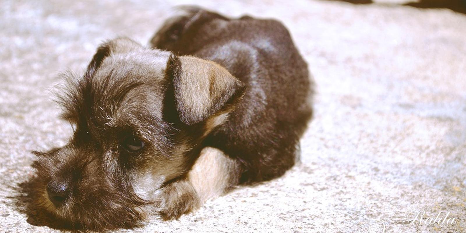 Hepatitis Canina. Síntomas Y Tratamiento
