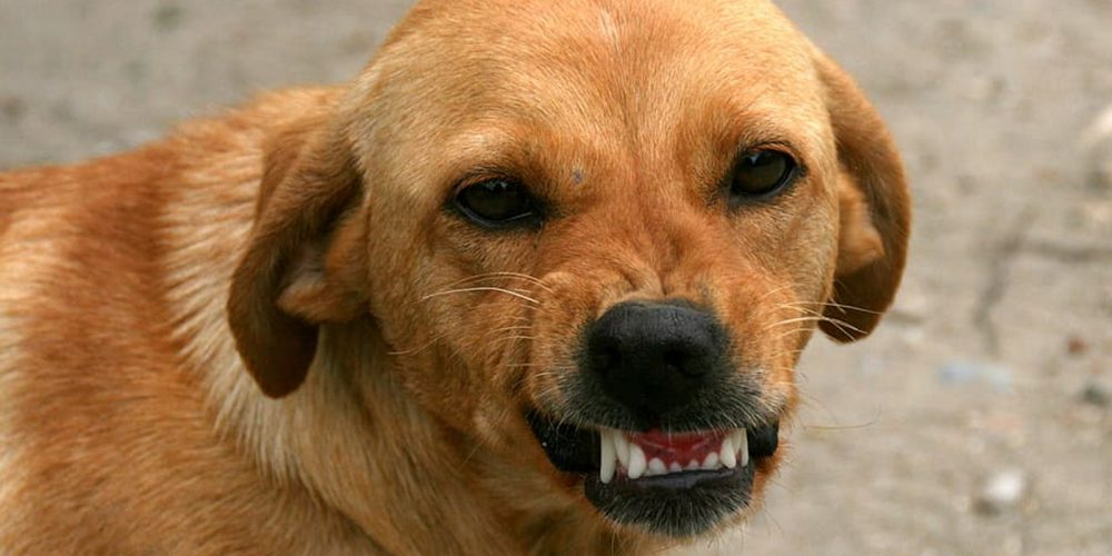 Cómo Evitar Que Mi Perro Sea Agresivo