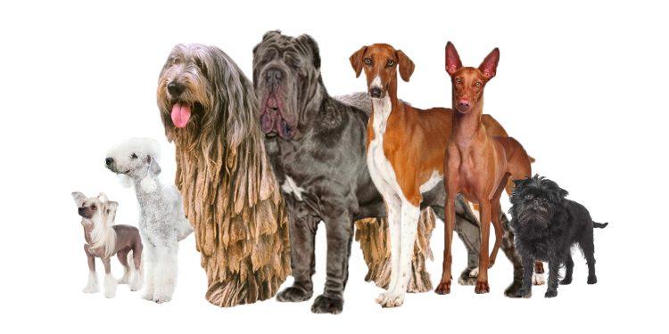 Top 15 Razas Más Extrañas De Perros Que Te Van A Sorprender