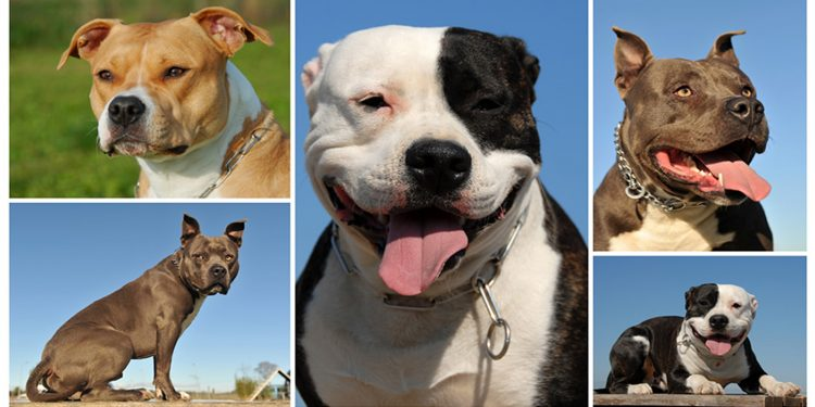 Tipos De Razas De Perros Pitbull