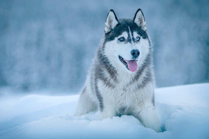 Guía sobre la raza Husky: características, cría y consejos