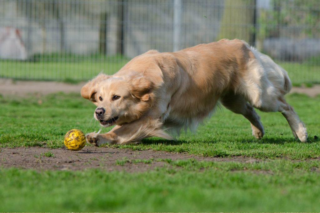 perro persiguiendo pelota
