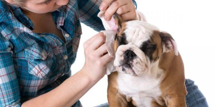 Otohematoma en los perros. Qué es, qué lo causa y cómo tratarlo
