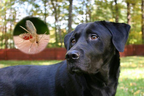 Leishmaniasis en los perros. Causas, contagio y tratamiento con alopurinol