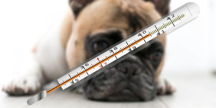 Cómo saber si un perro tiene fiebre y cómo tratarla