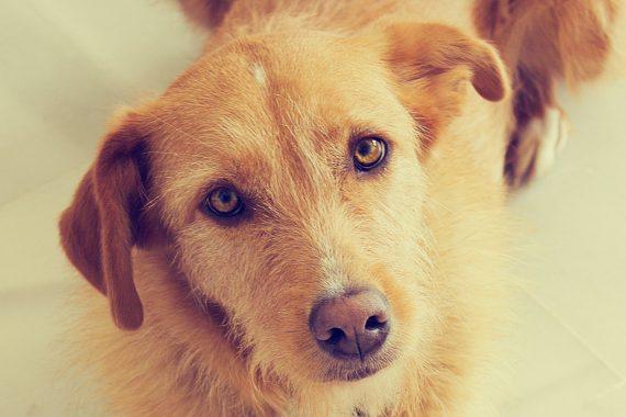 Piometra canina. Qué la causa, tratamiento y cómo prevenirla
