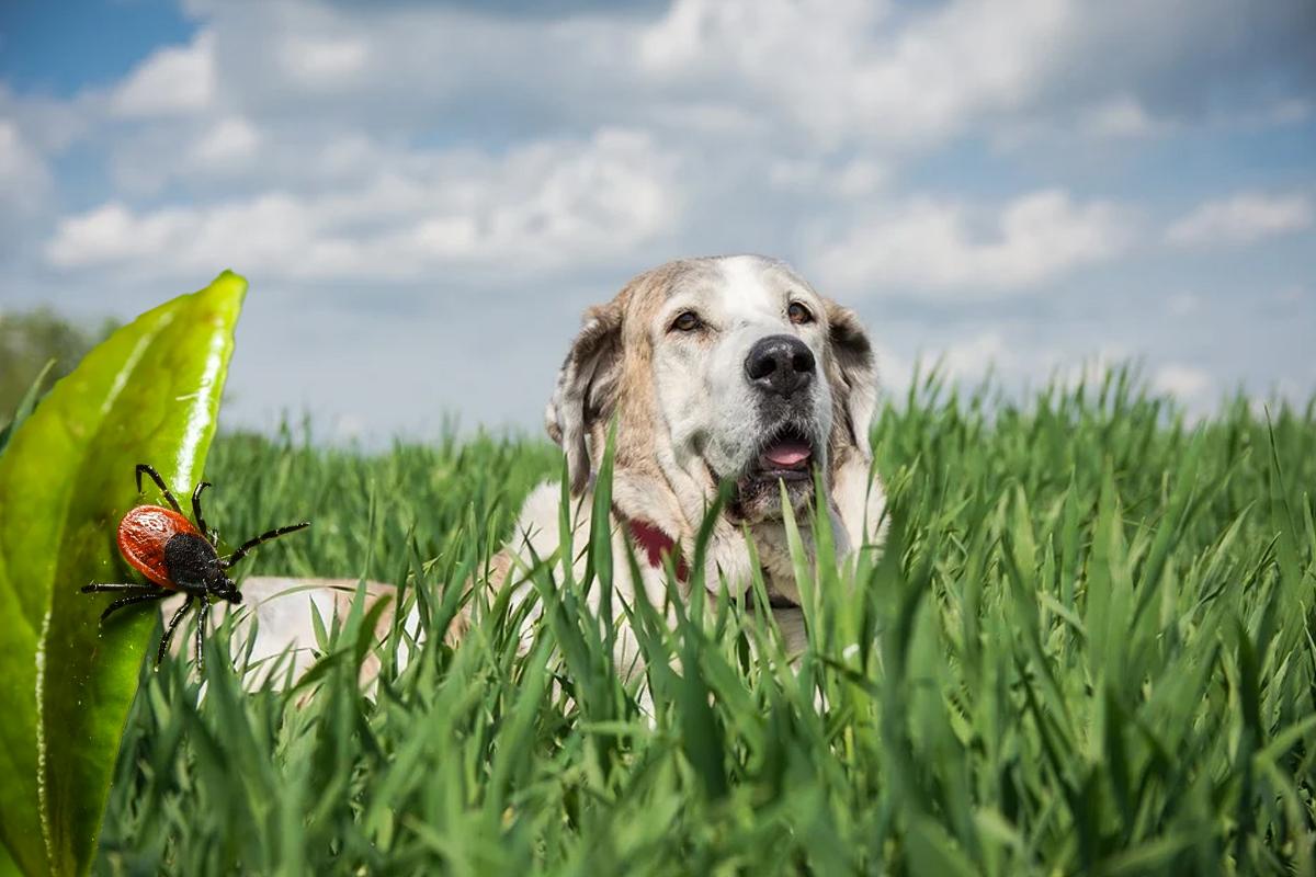 Ehrlichiosis canina. Qué la causa, tratamiento y cómo prevenirla