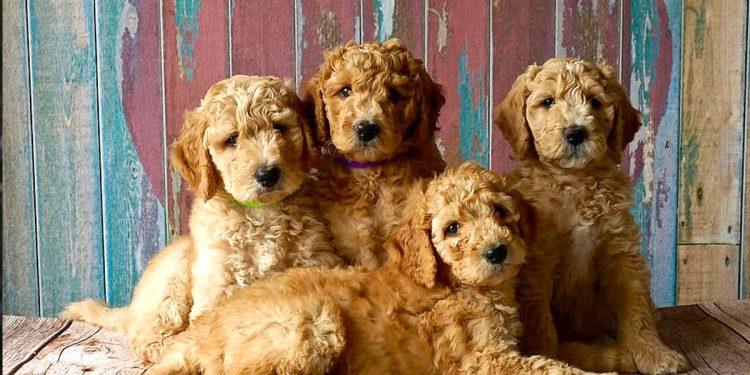Top 10 razas de perros más cariñosas