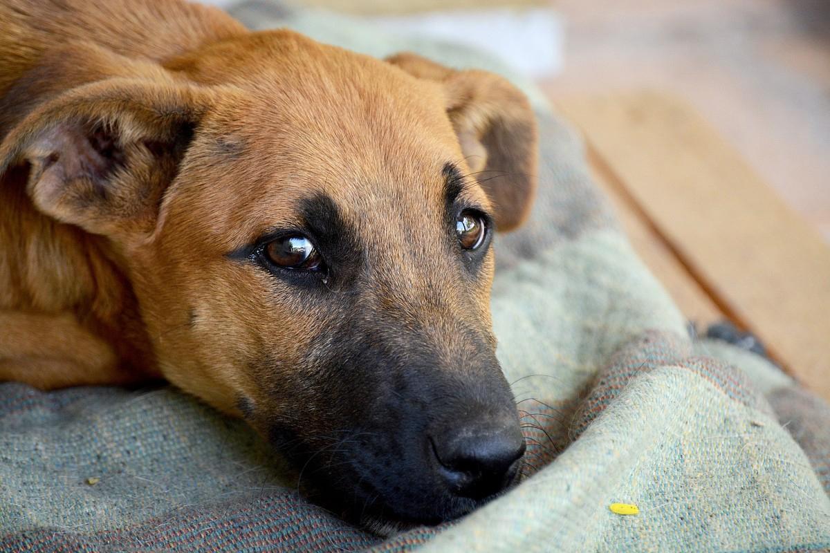 Leptospirosis en los perros. Causas, remedios y tratamiento