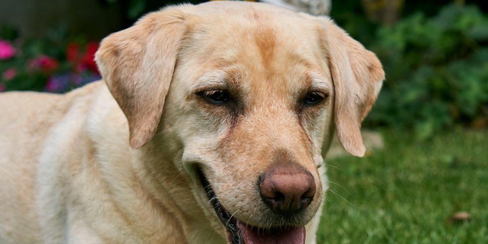 Conjuntivitis en los perros. Qué la causa, cómo evitarla y cómo curarla