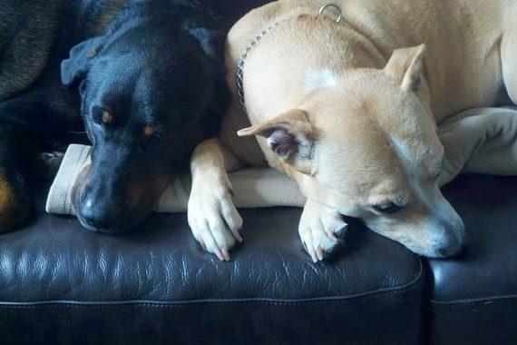 Cómo hacer que dos perros machos se lleven bien