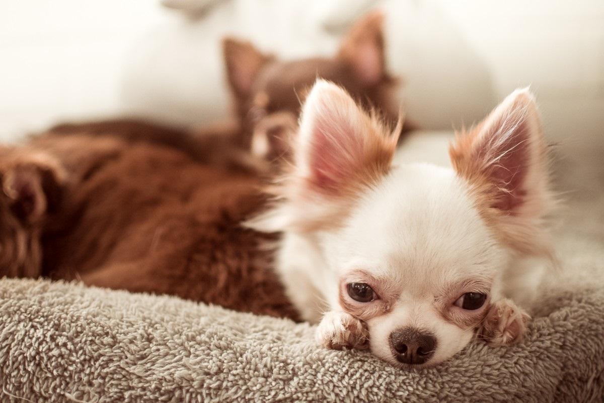 Mejores alimentos, dietas y piensos para perros con el hígado graso