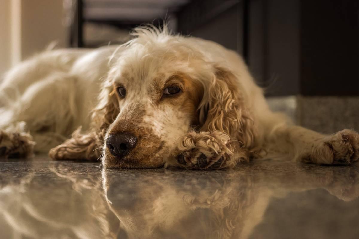 Cuál es la mejor alimentación para perros con anemia