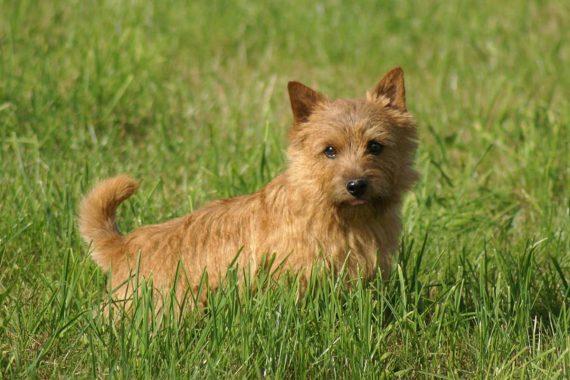 Todo sobre el Terrier de Norwich: cría, cuidado y adiestramiento